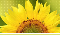 Sunflower Presentation Template