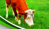 Grazing Cow Presentation Template