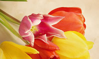 Tulip Presentation Template