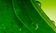 Green Leaf With Dew Presentation Template
