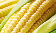 New Crop Of Maize Presentation Template