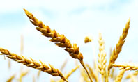 Golden Ear Of The Wheat Presentation Template