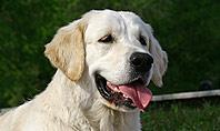 Labrador Presentation Template