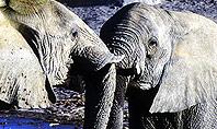 African Fauna Presentation Template