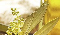 Olive Essential Oils Presentation Template
