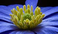 Blue Flower Presentation Template
