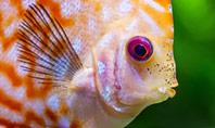 Discus Fish Presentation Template