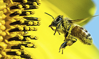 Bee Flies to Sunflower Presentation Template