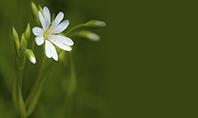 White Flower Close-up Presentation Template