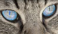 Siberian Cat Presentation Template