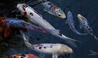 Koi Fish Presentation Template