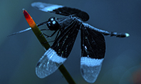 Dragonfly on a Stalk Presentation Template