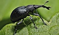 Snout Beetle Presentation Template