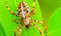 Crusader Spider Presentation Template