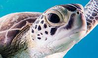 Marine Turtle Presentation Template