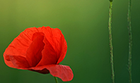 Amazing Red Poppy Presentation Presentation Template