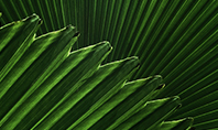 Leaves of the Fan Palm Presentation Presentation Template