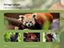 Red Panda Climbing on Tree Presentation slide 13