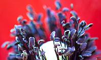 Red Poppy Closeup Presentation Presentation Template