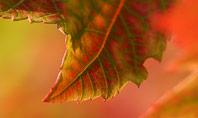 Autumn Maple Leaves Presentation Presentation Template