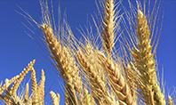 Golden Ears of Wheat Against the Blue Sky Presentation Presentation Template