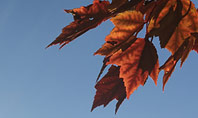 Maple Tree Branch in Autumn against Blue Sky Presentation Presentation Template