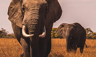 African Elephants Presentation Presentation Template