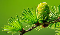 Branch of Larch Tree with Cones Presentation Presentation Template
