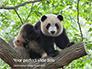 Cute Panda Bear is Sitting on Tree Branch Presentation slide 1