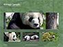 Cute Panda Bear is Sitting on Tree Branch Presentation slide 13