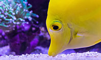 Yellow Tang Fish in Aquarium Presentation Presentation Template