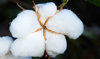 Closeup of Ripe Cotton Plant Presentation Presentation Template
