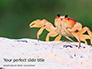 Crab on Rock Presentation slide 1