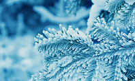 Pine Branches Covered with Hoarfrost and Snow Presentation Presentation Template