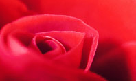 Beautiful Red Rose Close Up Presentation Presentation Template