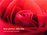 Beautiful Red Rose Close Up Presentation slide 1