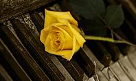 Yellow Rose on Piano Keys Presentation Presentation Template