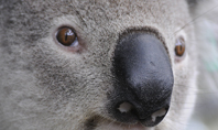 Close-up Portrait of Koala Bear Presentation Presentation Template